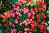 Dutch souvenir tulips photo