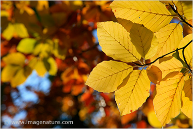 Autumn colour splash - Beech (Fagus sylvatica) leaves