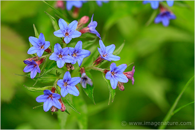 Deep blue wild flowers