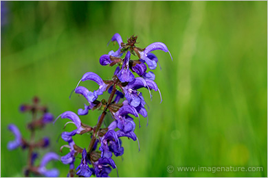 Blue Meadow Clary (Salvia pratensis)