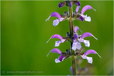 Purple Meadow Clary (Salvia pratensis)
