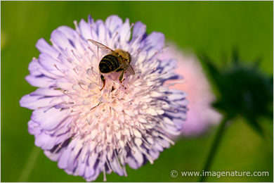 Field Scabious flower with bee