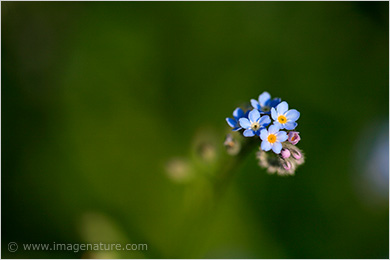 Wood Forget-me-not wild flower (Myosotis sylvatica)