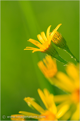 Yellow flowers - Common Ragwort (Senecio jacobaea)
