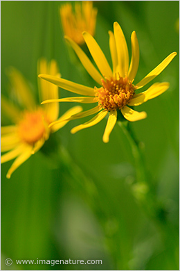 Sunny flowers - Common Ragwort (Senecio jacobaea)