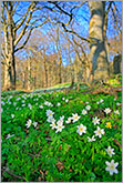 Beech forest with anemone flowers photo