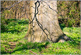 Tree trunk in spring forest photo