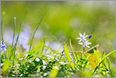 Beautiful spring scene with backlit green grass and blue flower photo