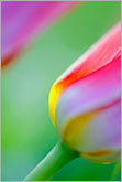 Colorful abstract lines of red tulip closeup photo