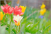 Beautiful colorful tulips in spring garden photo