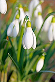 Delicate snowdrops flowers in spring garden macro photo