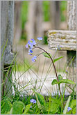 Forget-me-not blue flower with old wooden fence background photo