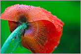 Red poppy flower with rain drops photo