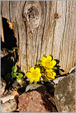 Early spring yellow flower with old wood background conceptual image