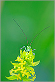 Curious grasshopper behind yellow flower photo